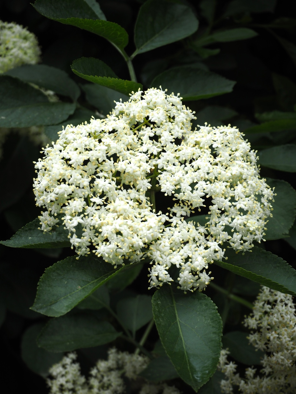 Elderflower in London