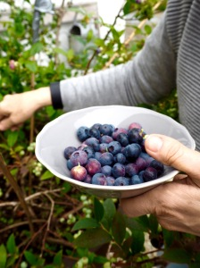 Picking blueberries in Dublin